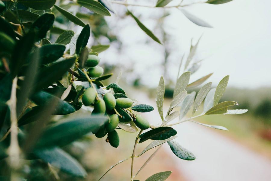 l'huile d'olive, de la production à l'utilisation